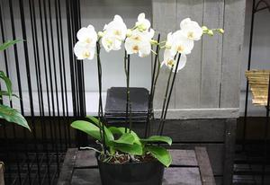 JARDINIERE D'ORCHIDEES Blanches