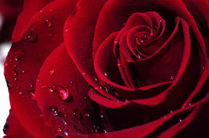 ROSES ROUGES Saint-Valentin